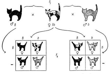 Схема наследования чёрного окраса