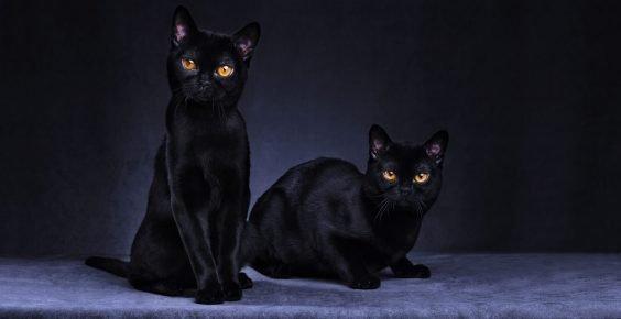 Чёрные кошки
