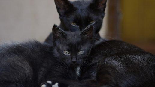 Чёрная кошка и котёнок
