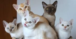 Котята бурмиллы разного окраса
