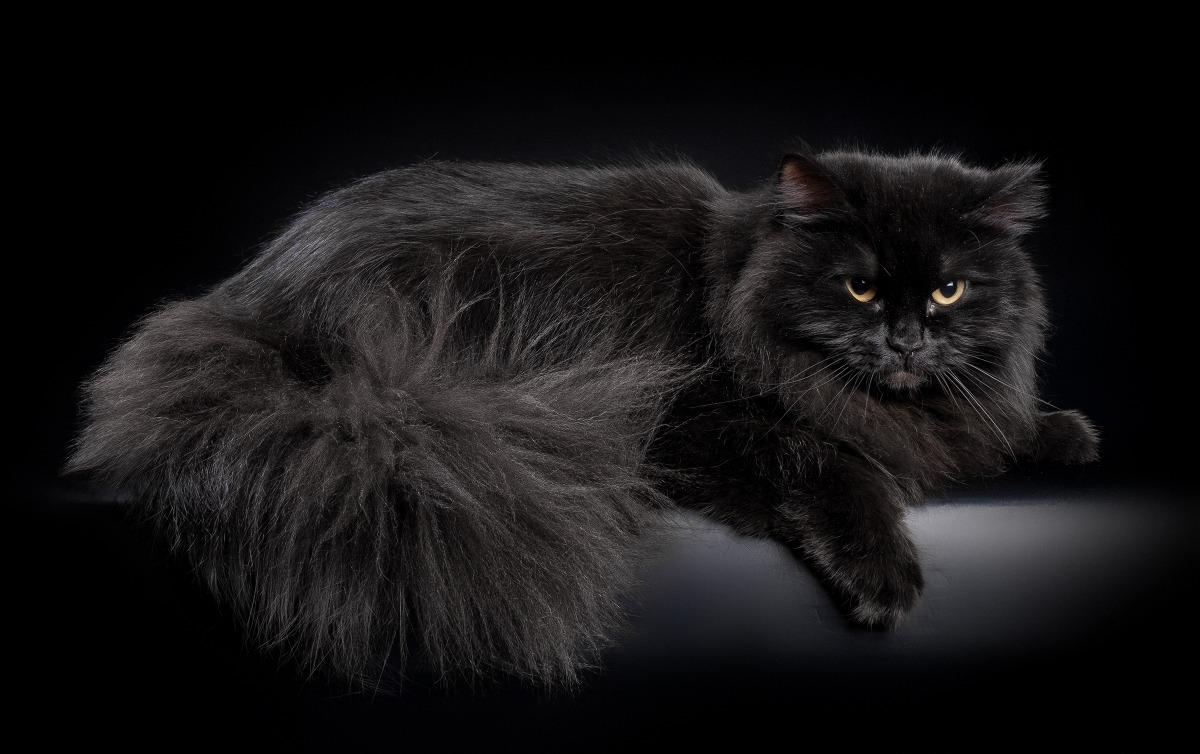 картинки сибирских котов черного окраса ничего имею
