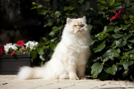 Гималайский кот сидит на садовой дорожке возле куста и смотрит вдаль