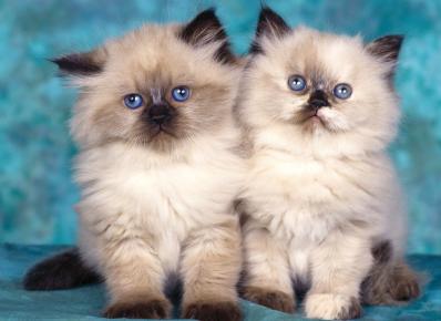 Два гималайских котёнка сидят на голубом фоне