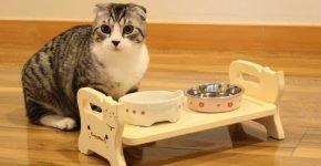 Шотландский кот стоит у мисок