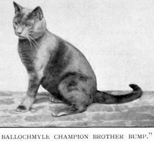 Британский кот в 19 веке