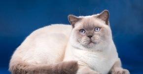 Блюпойтновый британский кот
