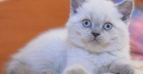 Окрас котёнка блю-пойнт