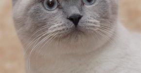 Котик британец блю-пойнт