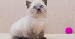 Голубоглазый котёнок блю-пойнт