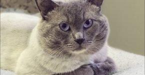 Британский кот в расцветке блю-пойнт