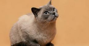 Блюпойнтовая британская кошка