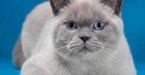 Взрослый кот британец блю-пойнт