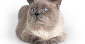 Задумчивый кот британец