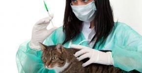 Кошка и шприц для инъекции