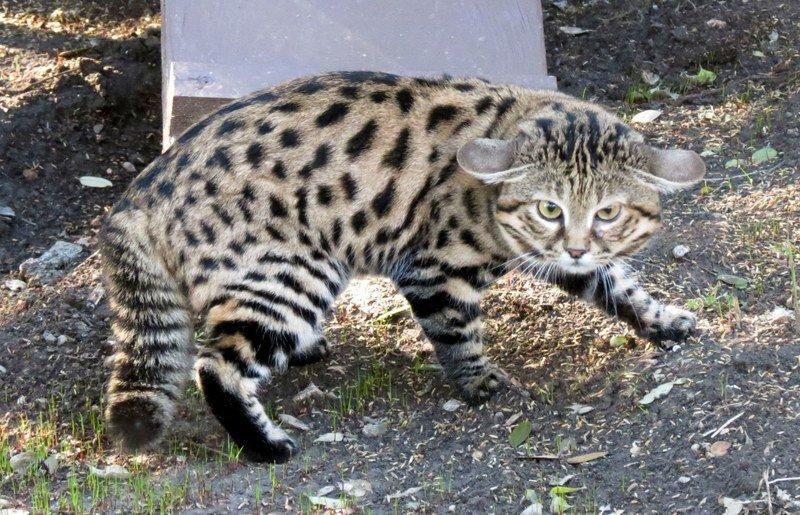 Африканская черноногая кошка — описание породы