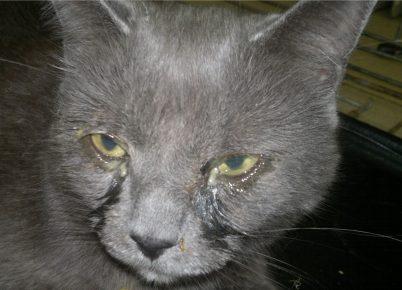 Хламидиоз у кошки