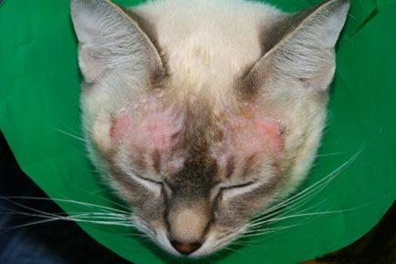 Пример атопического дерматита у кошек