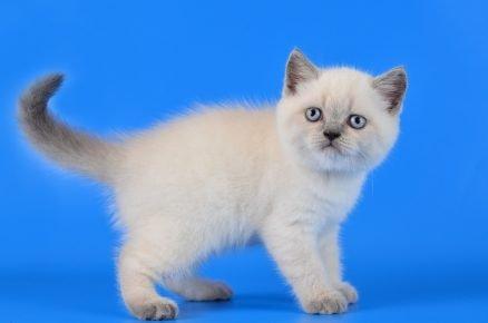 Британский котёнок голубой таббированный линкс-пойнт
