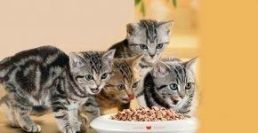 котята едят корм