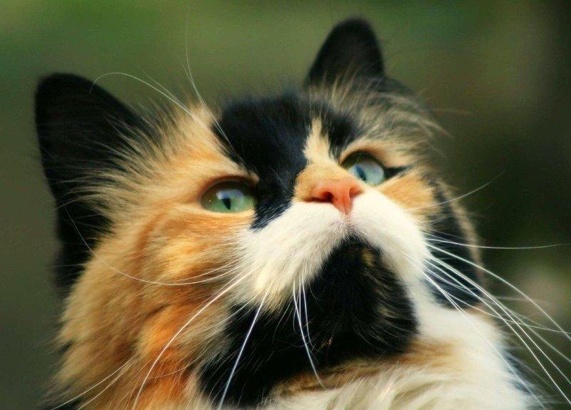 Интересные факты про трехцветных кошек. Бывают ли трехцветные коты или только кошки? И о чем говорит трехцветный окрас кошек? Породистые трехцветные кошки