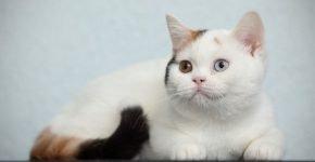 Кошачий окрас ван
