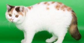 Кошачий окрас арлекин