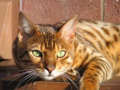 Кошка с жёлтыми глазами