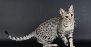 Чёрно-серебряная кошка оцикет