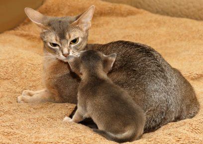 Абиссинская кошка и котёнок