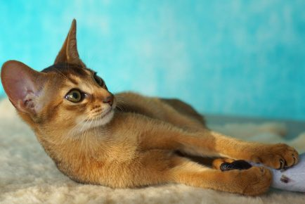 Аббисинская кошка на пушистом пледе