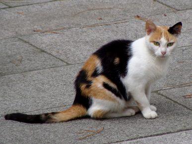 Эгейская кошка калико