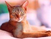 Абиссинская кошка с рыжими глазами