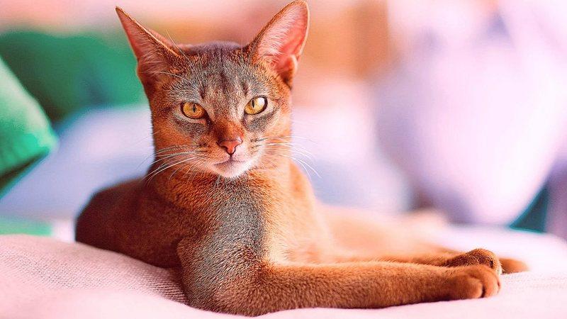 Абиссинская кошка – фото, характер, содержание, питание, купить