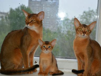 Абиссинские кот, кошка и котёнок