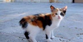 Котёнок мэнкс