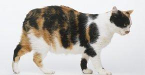 Мэнская кошка калико