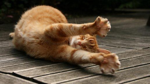 Передние лапы кота