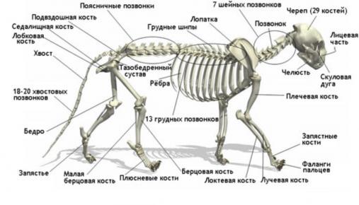 Скелет кошек