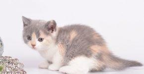 Котёнок трёхцветный