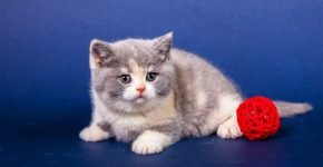 Котёнок британец калико