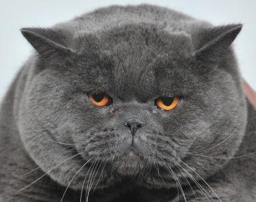 Британский кот с ожирением