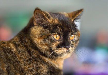 Британская черепаховая кошка