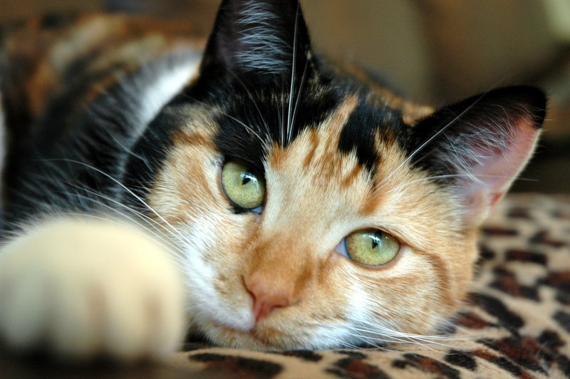 Черепаховый окрас кошки и три его разновидности