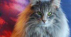 Норвежская лесная кошка серая