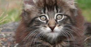 Норвежская лесная кошка — котёнок