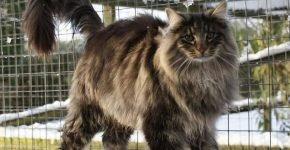 Норвежская лесная кошка в клетке