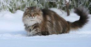Норвежская лесная на снегу