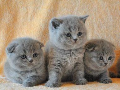 Шотландские котики с разными ушками