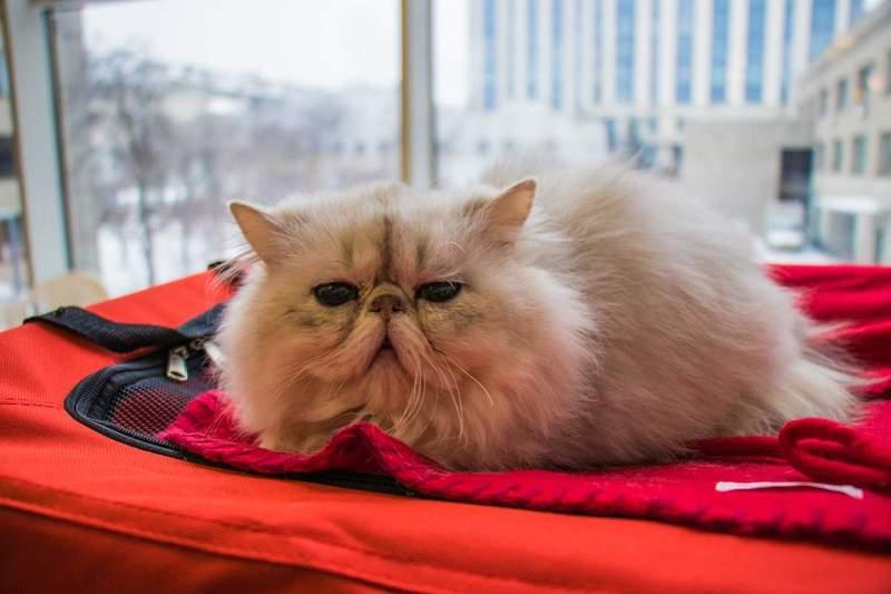 Как участвовать в выставке кошек