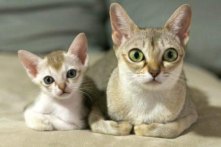 Мама-сингапура с котёнком